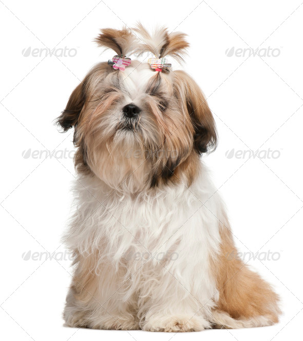 Shih Tzu puppy, 5 months old, sitting in front of white background - Stock Photo - Images