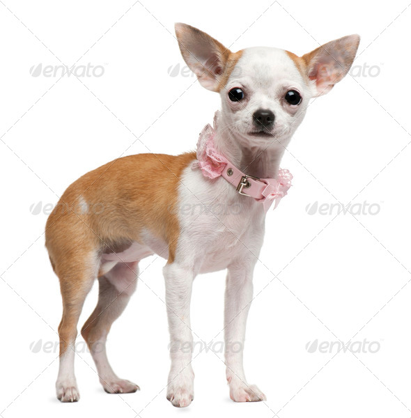 Chihuahua puppy, 6 months old, standing in front of white background - Stock Photo - Images