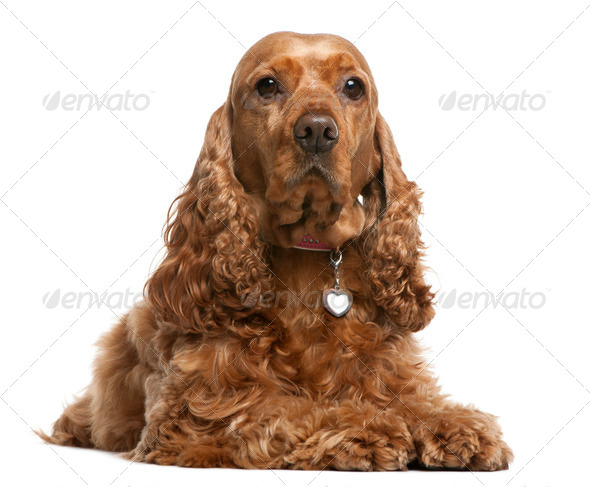 English Cocker Spaniel, 5 years old, lying in front of white background - Stock Photo - Images