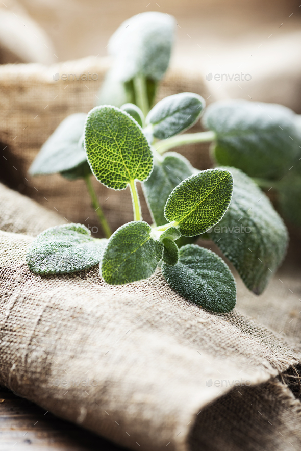 Fresh sage leaf - Stock Photo - Images