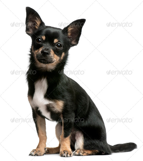 Chihuahua puppy, 5 months old, sitting in front of white background - Stock Photo - Images