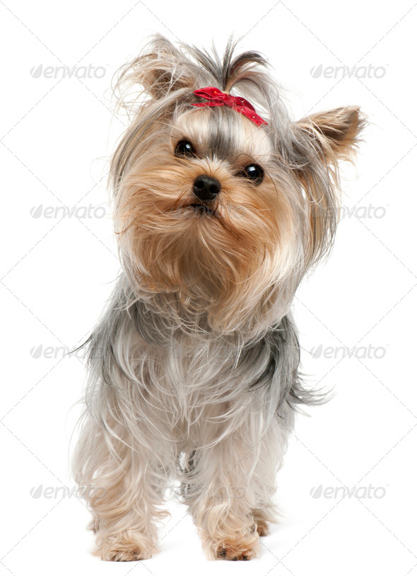 Yorkshire Terrier, 1 year old, standing in front of white background - Stock Photo - Images
