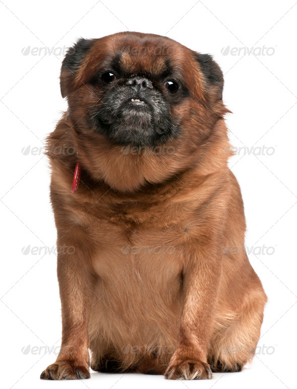 Griffon Bruxellois, 10 years old, sitting in front of white background - Stock Photo - Images