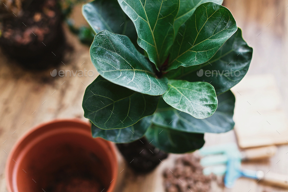 Repotting fiddle leaf fig tree in big modern pot. Ficus lyrata leaves and pot - Stock Photo - Images