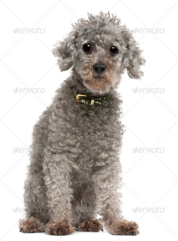 Poodle, 13 years old, sitting in front of white background - Stock Photo - Images