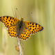Queen of Spain fritillary - PhotoDune Item for Sale
