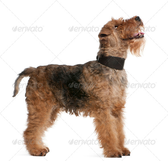 Welsh Terrier, 7 years old, standing in front of white background - Stock Photo - Images