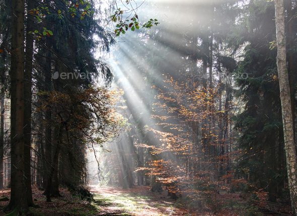 God beams - sunbeams in the morning forest - Stock Photo - Images