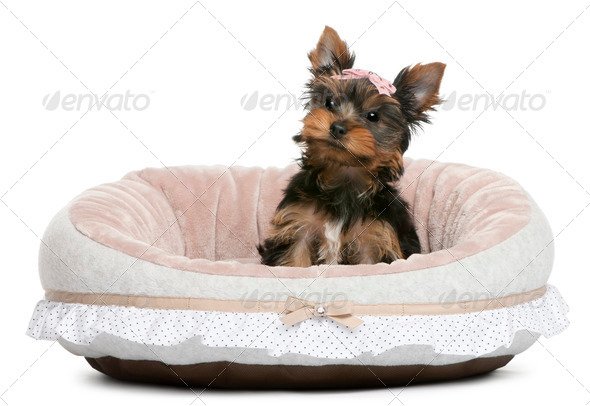 Yorkshire Terrier puppy, 2 months old, sitting in front of white background - Stock Photo - Images