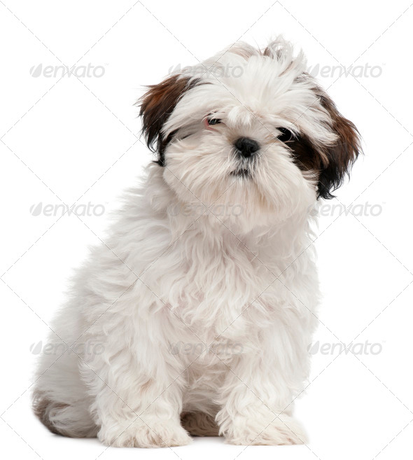 Shih Tzu puppy, 3 months old, sitting in front of white background - Stock Photo - Images