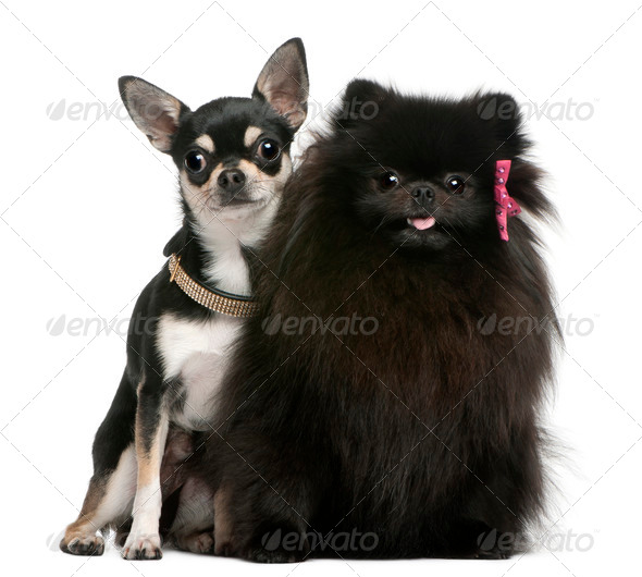 Chihuahua puppy and black fluffy dog, sitting in front of white background - Stock Photo - Images