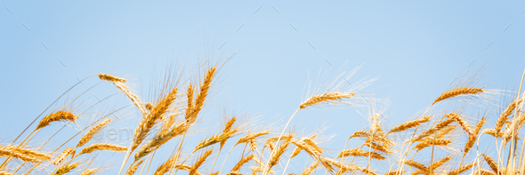 Ears of golden wheat - Stock Photo - Images