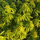 Green bushes of marijuana. Close up view of a marijuana cannabis bud - PhotoDune Item for Sale