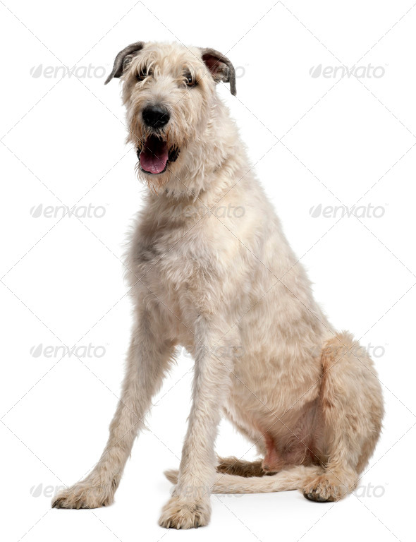 Irish Wolfhound, 4 years old, sitting in front of white background - Stock Photo - Images