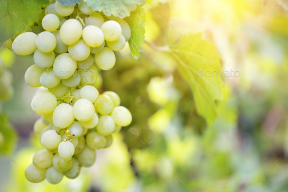 Bunch of sweet ripe grapes on a branch - Stock Photo - Images