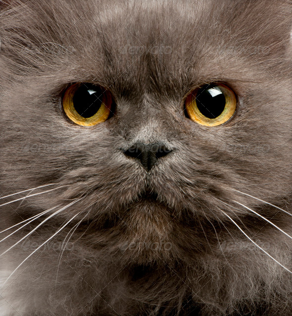Close up of grey cats face - Stock Photo - Images