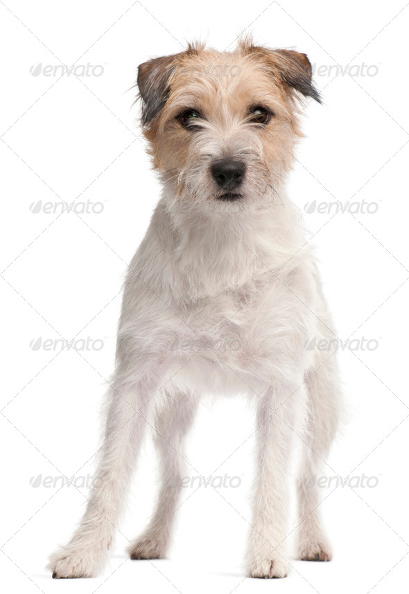 Parson Russell Terrier, 1 year old, standing in front of white background - Stock Photo - Images