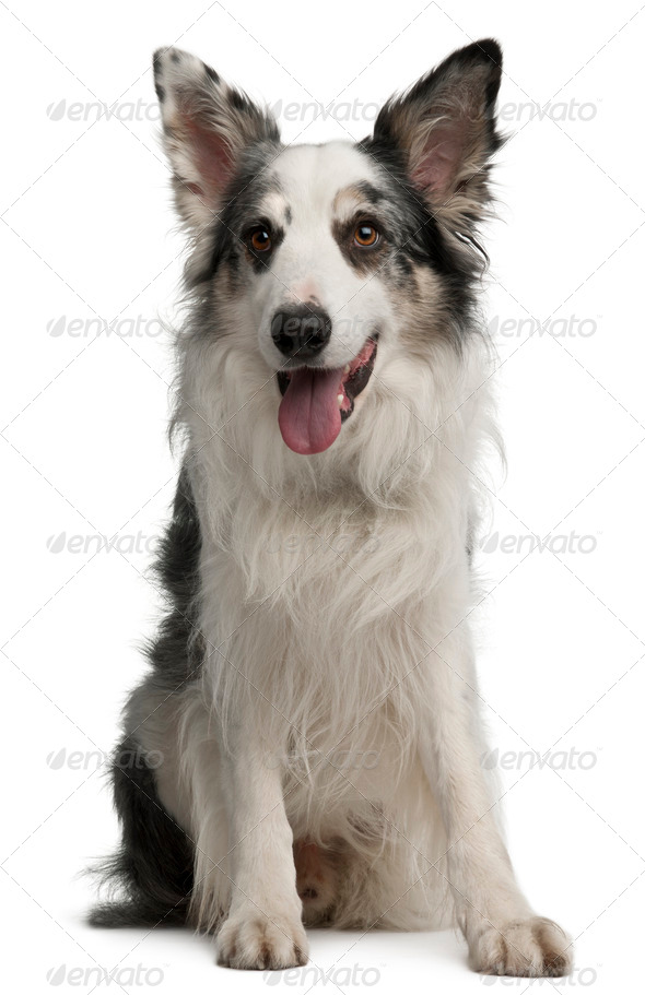 Border Collie, 6 years old, sitting in front of white background - Stock Photo - Images