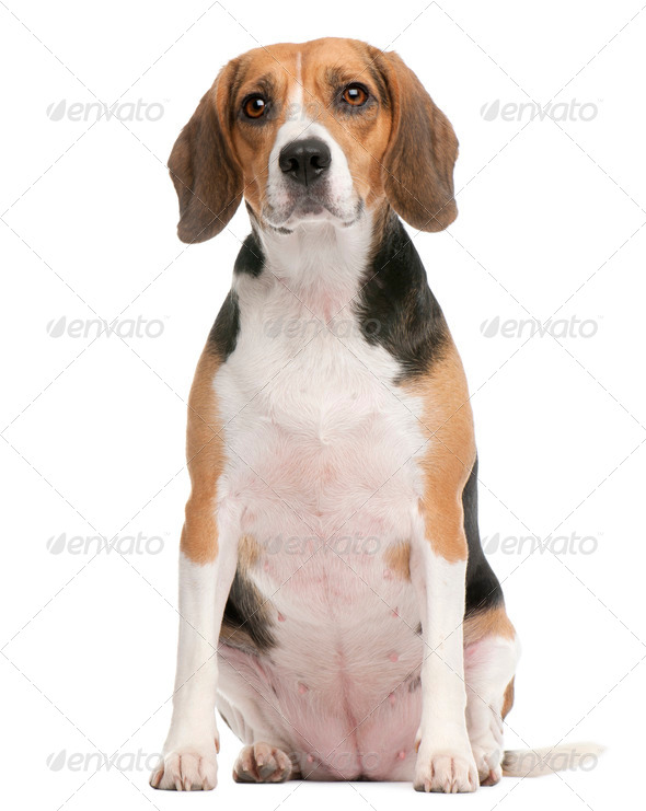 Beagle, 2 years old, sitting in front of white background - Stock Photo - Images