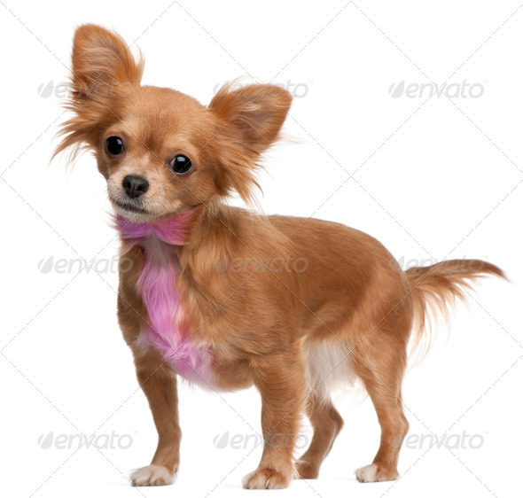 Chihuahua with pink bow-tie fur, 18 months old, standing in front of white background - Stock Photo - Images