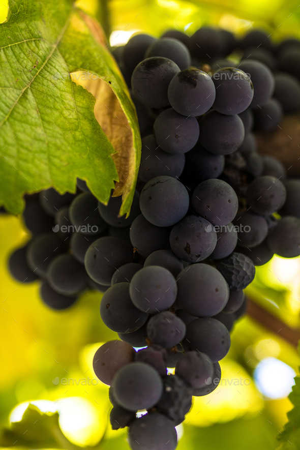 Grape in vineyard - Stock Photo - Images