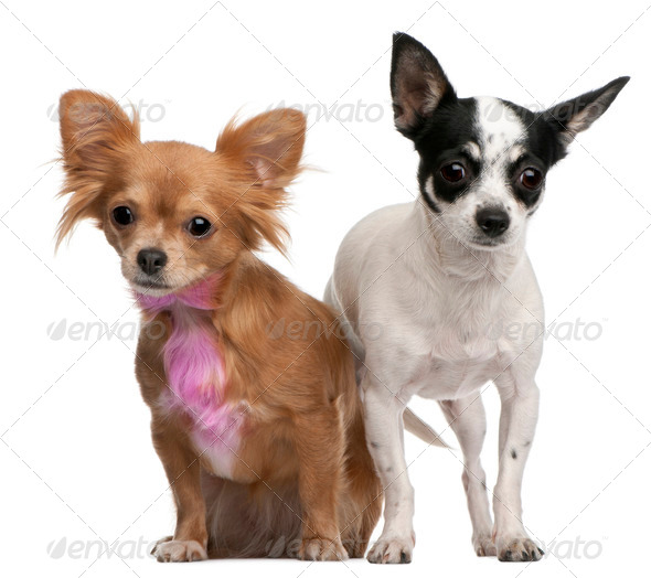 Chihuahuas, one with pink bow-tie fur, 18 months old, and 4 years old, in front of white background - Stock Photo - Images