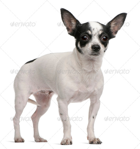 Chihuahua, 4 years old, standing in front of white background - Stock Photo - Images