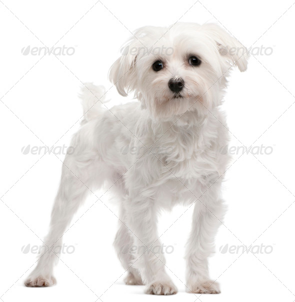 Maltese, 1 year old, standing in front of white background - Stock Photo - Images