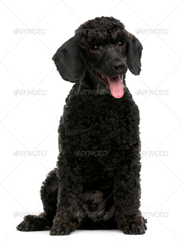 Poodle puppy, 6 months old, sitting in front of white background - Stock Photo - Images