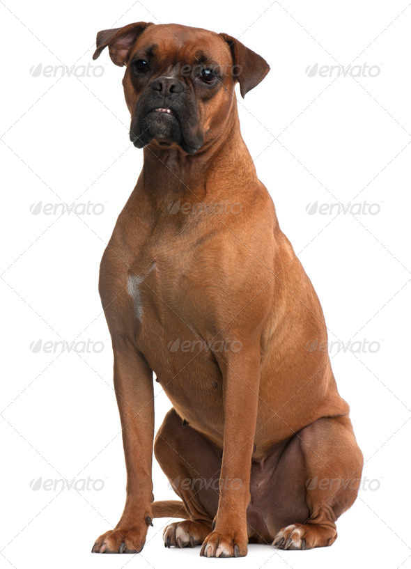 Boxer, 4 years old, sitting in front of white background - Stock Photo - Images