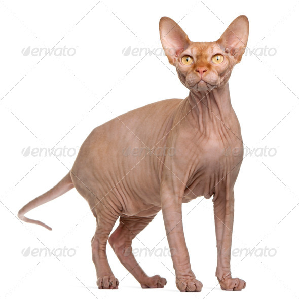Sphynx cat, 8 months old, standing in front of white background - Stock Photo - Images