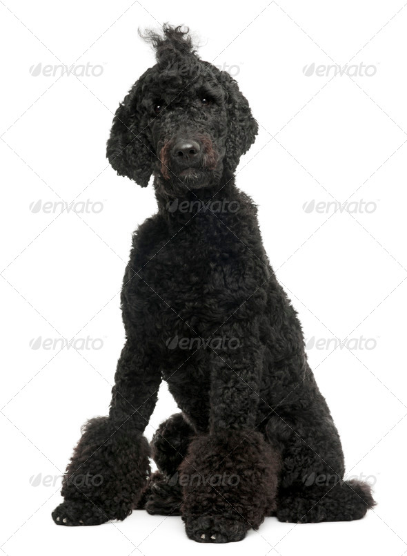 Royal Poodle, 1 year old, sitting in front of white background - Stock Photo - Images