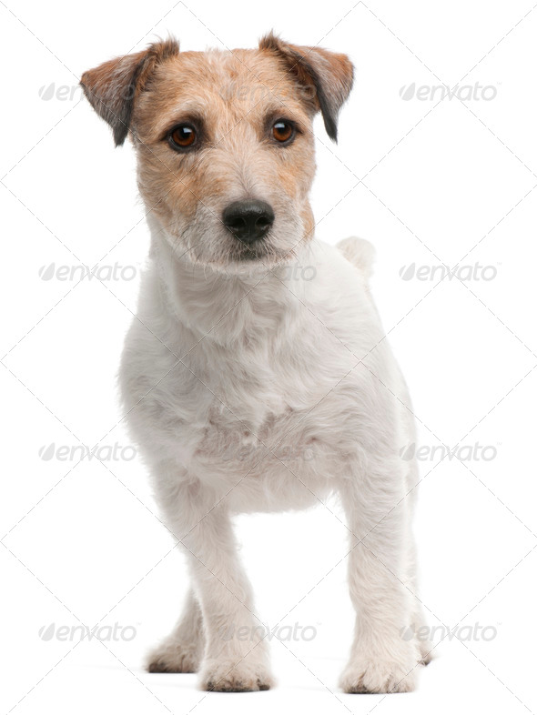 Jack Russell Terrier, 4 years old, standing in front of white background - Stock Photo - Images
