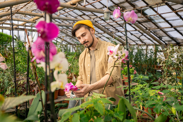 Growing orchids in greenhouse - Stock Photo - Images