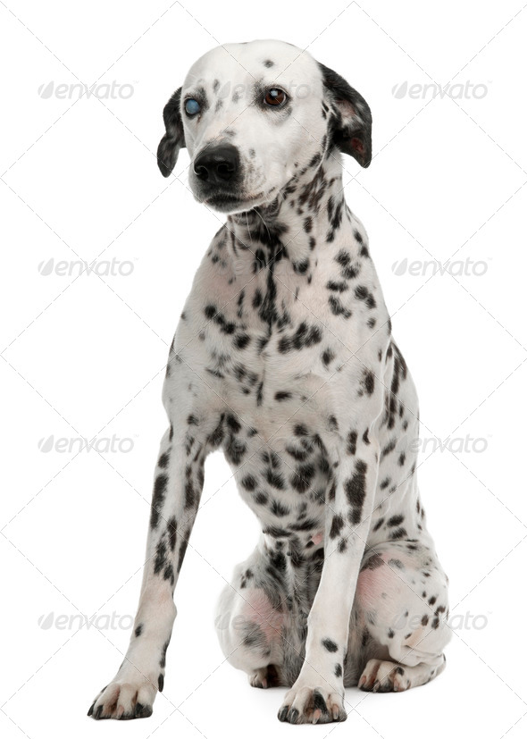 One-eyed Dalmation, 10 years old, sitting in front of white background - Stock Photo - Images