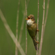 Marsh warbler (Acrocephalus palustris) - PhotoDune Item for Sale