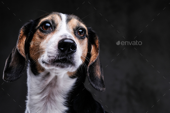 Portrait of a cute little beagle dog isolated on a dark background. - Stock Photo - Images