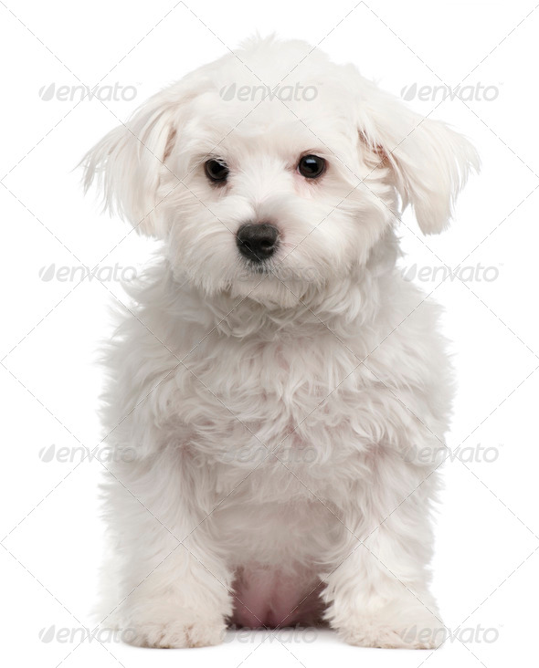 Maltese, 7 months old, sitting in front of white background - Stock Photo - Images