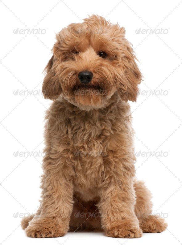 Cross breed dog, 7 months old, sitting in front of white background - Stock Photo - Images
