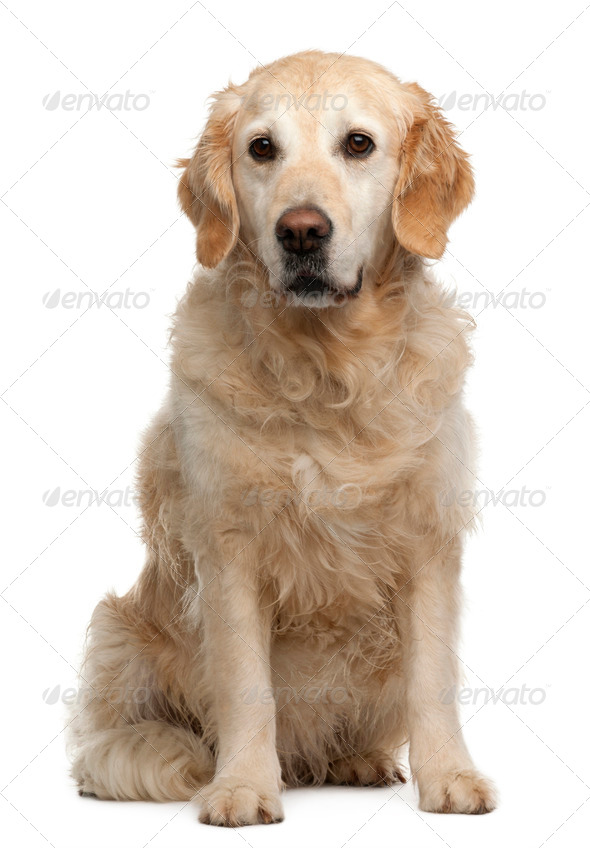 Golden Retriever, 6 years old, sitting in front of white background - Stock Photo - Images