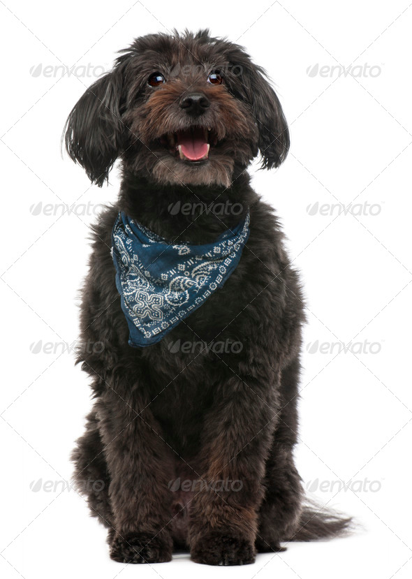 Cross breed dog wearing handkerchief, 10 years old, sitting in front of white background - Stock Photo - Images