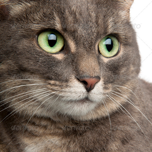 Close-up of mixed breed cat, 3 years old, in front of white background - Stock Photo - Images