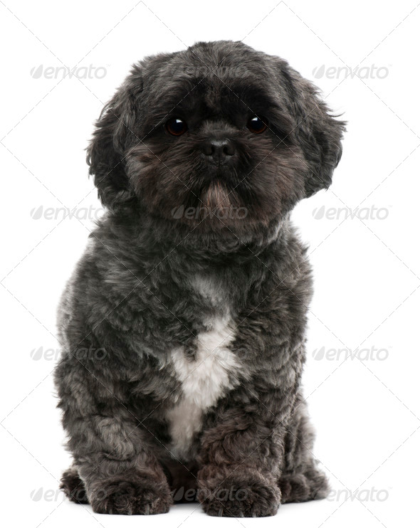 Lhasa Apso, 4 years old, sitting in front of white background - Stock Photo - Images