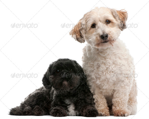 Cross Breed dog, 8 years old, and Lhasa Apso, 4 years old, sitting in front of white background - Stock Photo - Images