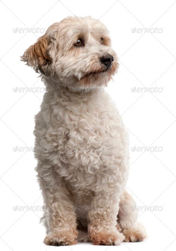 Cross breed dog, 8 years old, sitting in front of white background - Stock Photo - Images