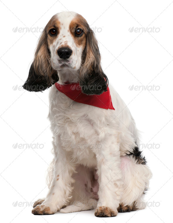 English Cocker Spaniel wearing handkerchief, 2 years old, sitting in front of white background - Stock Photo - Images