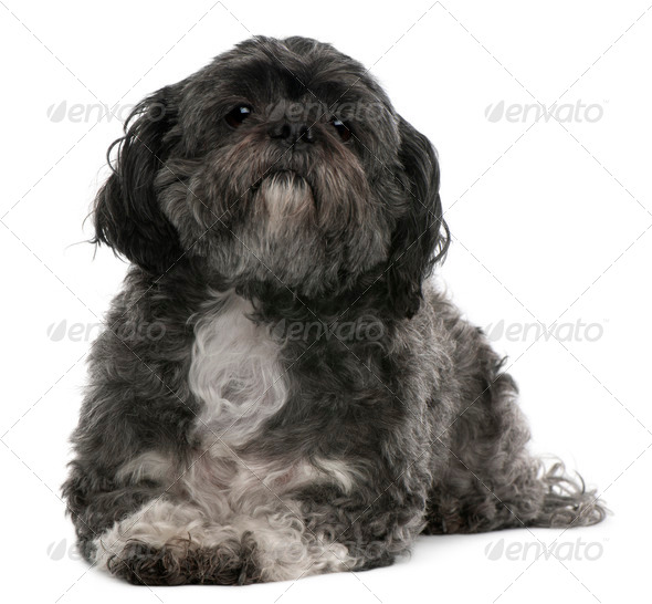 Shih Tzu, 6 years old, lying in front of white background - Stock Photo - Images