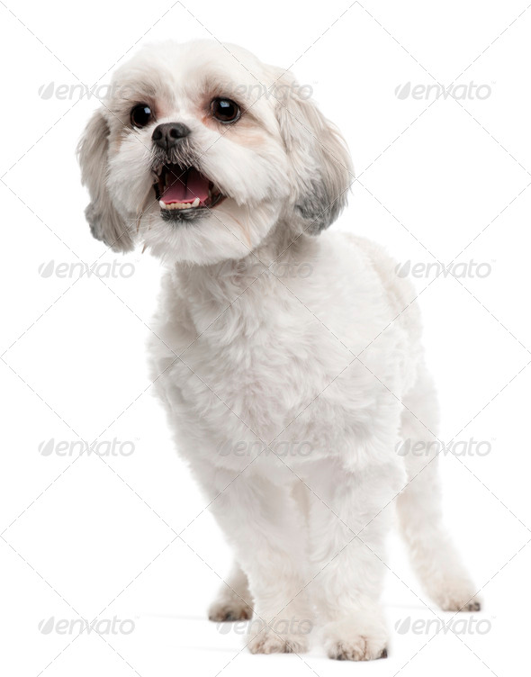 Cross breed dog, 5 years old, standing in front of white background - Stock Photo - Images
