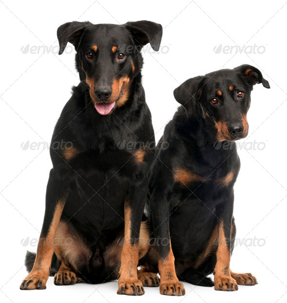 Beauceron dogs, 3 and 7 years old, sitting in front of white background - Stock Photo - Images