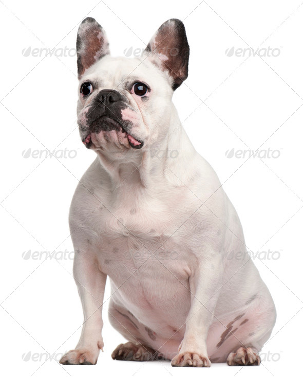 French Bulldog, 2 years old, sitting in front of white background - Stock Photo - Images